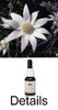 LITTLE FLANNEL FLOWER Australian Bush Flower Essences
