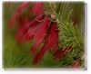 ONE SIDED BOTTLEBRUSH Living Essences Buschblüten